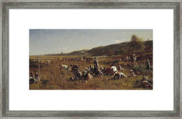 The Cranberry Harvest  Island Of Nantucket Framed Print