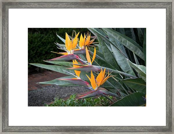 The Crane Flower - Bird Of Paradise  Framed Print