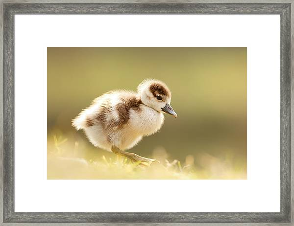 The Cute Factor - Egyptean Gosling Framed Print