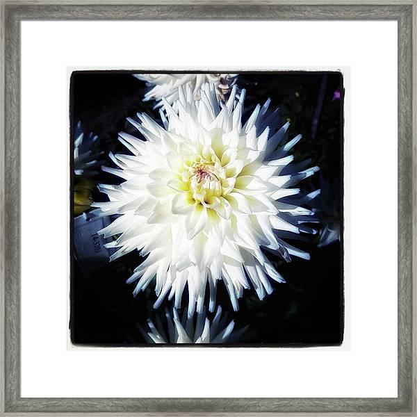 The Devoted Dahlia. The White Dahlia Framed Print by Mr Photojimsf