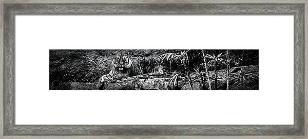 The Eye Of The Tiger Framed Print