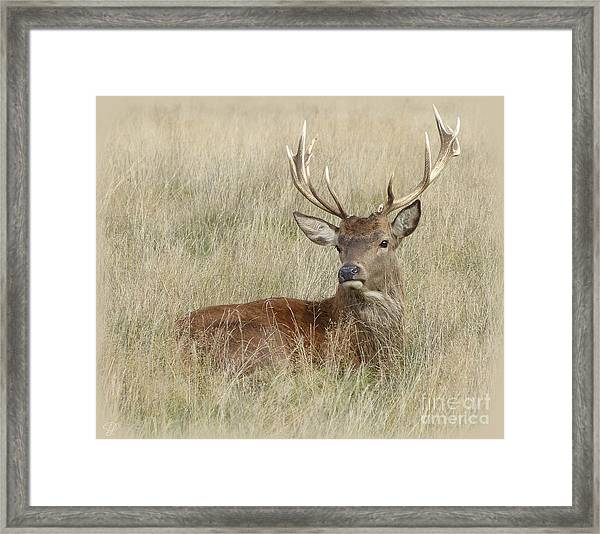 The Gentle Stag Framed Print