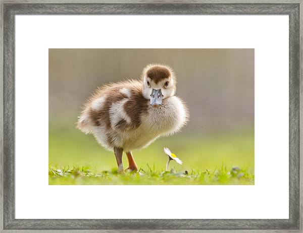 The Gosling And The Flower Framed Print