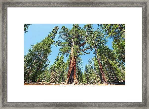 The Grizzly Giant- Framed Print