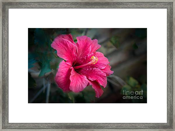 The Hibiscus Framed Print