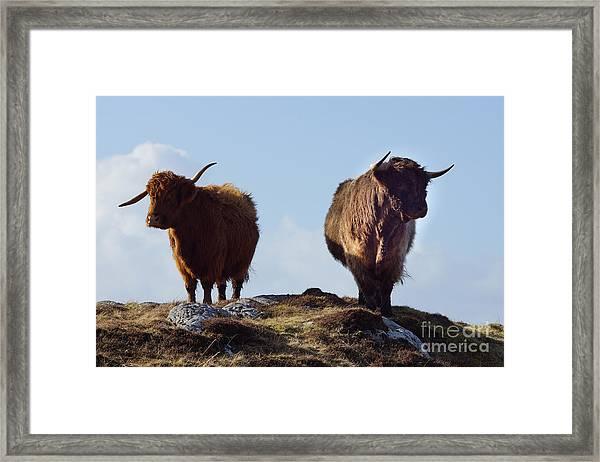 The Highland Cows Framed Print