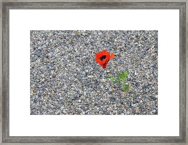 The Hopeful Poppy Framed Print