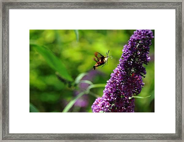 The Hummingbird Imposter Framed Print