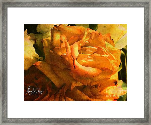 The Last Rose Framed Print