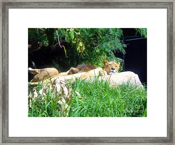 The Lion Awakes Framed Print