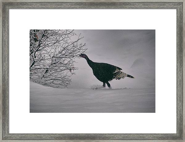 Framed Print featuring the photograph The Lone Turkey by Jason Coward