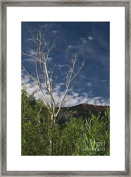 The Lonely Aspen  Framed Print