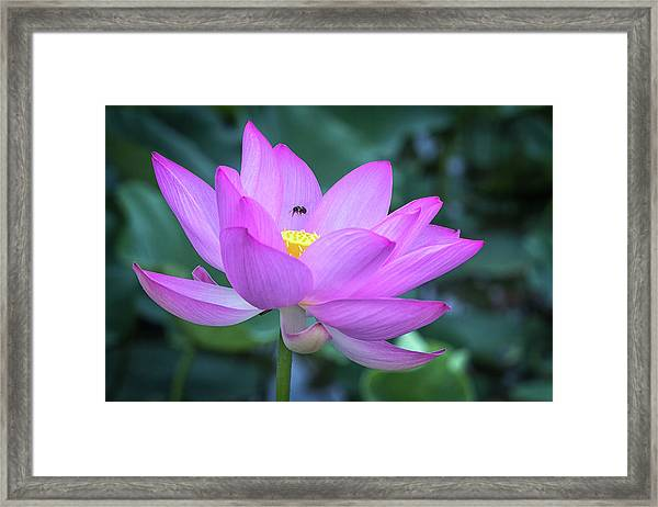 The Lotus And The Bee Framed Print