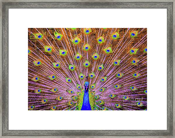 The Majestic Peacock Framed Print