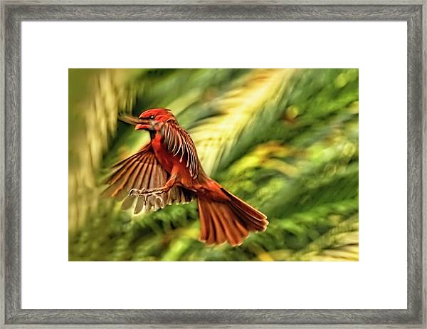 The Male Cardinal Approaches Framed Print