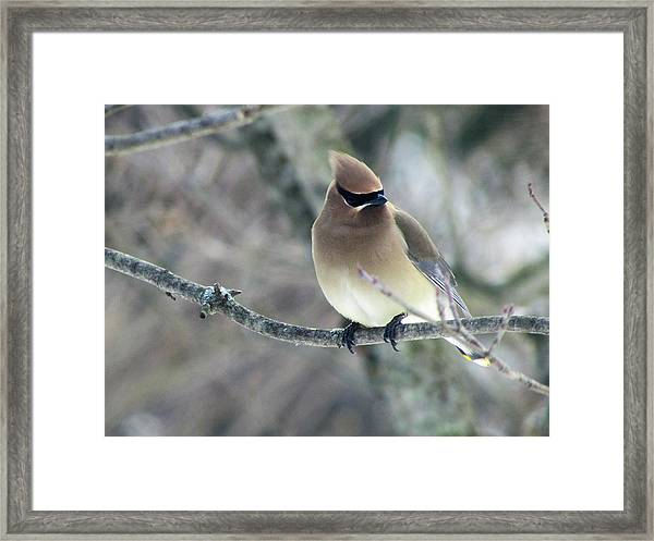 The Masked Cedar Waxwing Framed Print