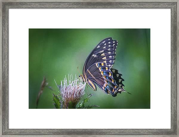 The Mattamuskeet Butterfly Framed Print