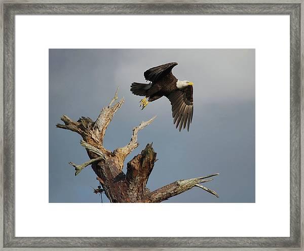the Mighty Ozzie. Framed Print