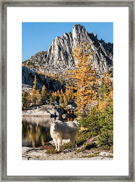 The Mountain Goat In The Enchantments Framed Print