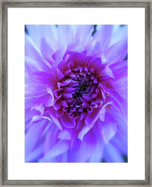 The Passionate Dahlia Framed Print