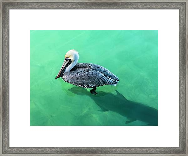 The Pelican And The Shark Framed Print