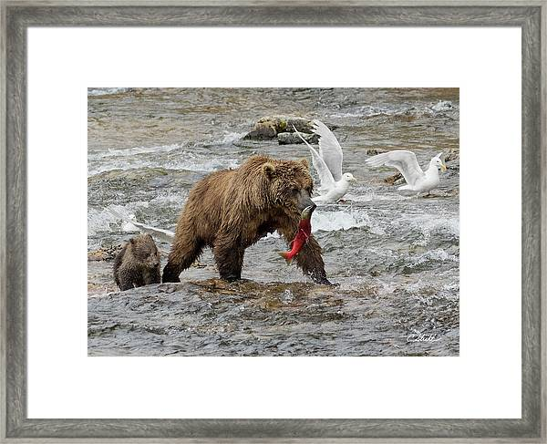 The Plight Of The Sockeye Framed Print