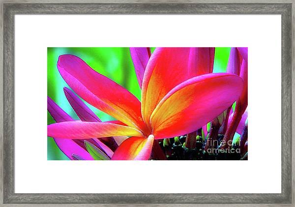 The Plumeria Flower Framed Print