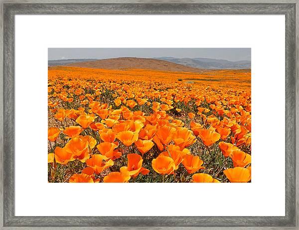 The Poppy Fields - Antelope Valley Framed Print