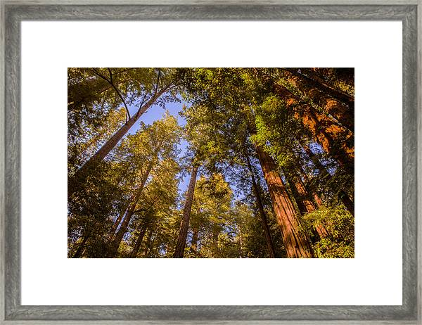 The Portola Redwood Forest Framed Print