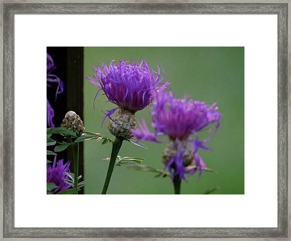 The Purple Bloom Framed Print