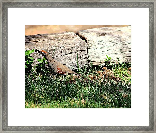 The Quail Family Framed Print