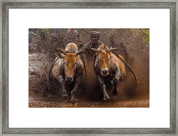 The Racing Cows Framed Print by Media Hendriko