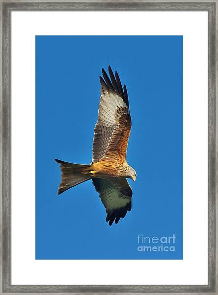 The Red Kite - Milvus Milvus Framed Print