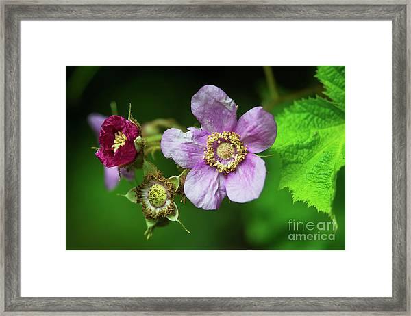 The Rose... Framed Print