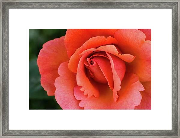The Rose Framed Print
