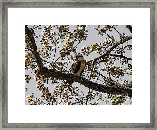 The Sea Eagle Framed Print