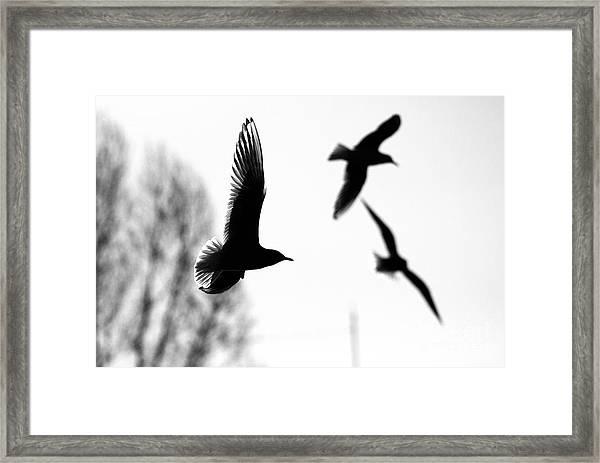 The Seagull Flying  Framed Print