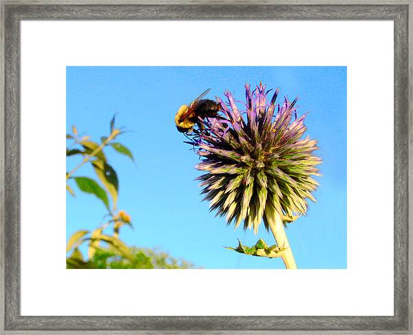 The Thistle And The Bee. Framed Print