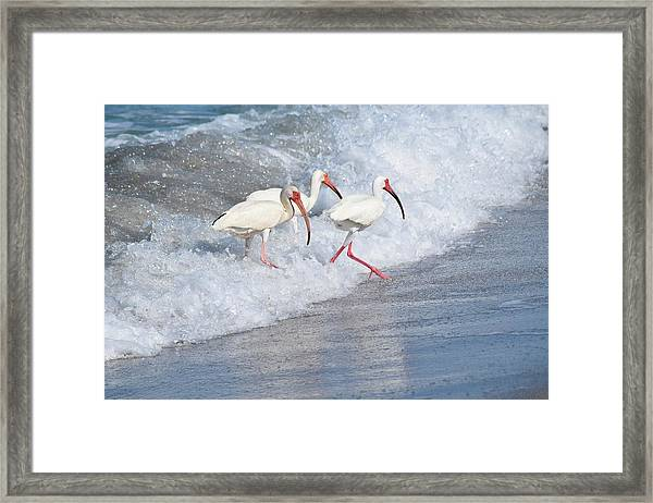 The Tide Of The Ibises Framed Print