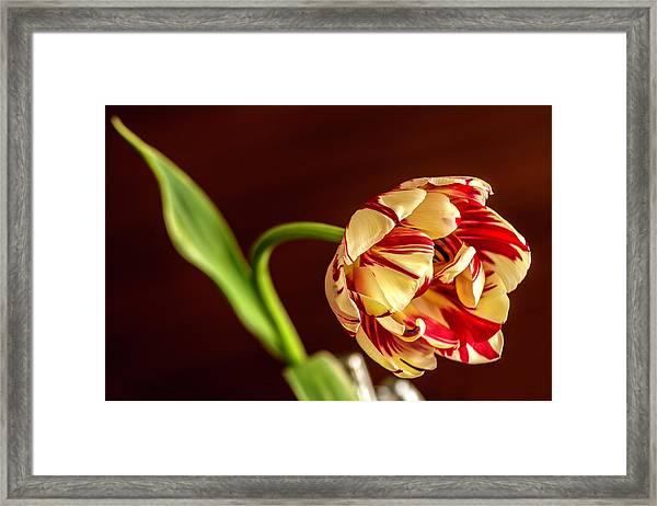 The Tulip's Bow Framed Print