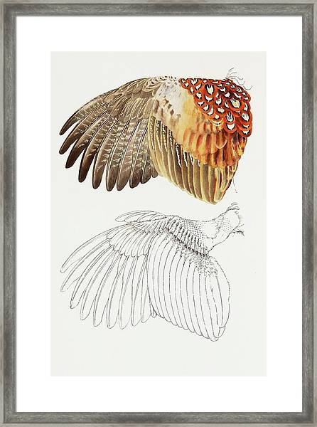 The Upper Side Of The Pheasant Wing Framed Print