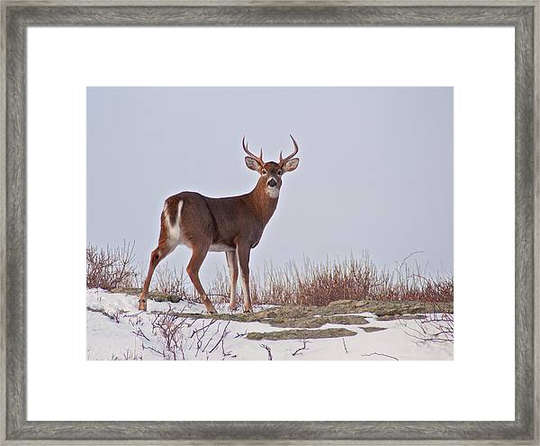 The Watchful Deer Framed Print