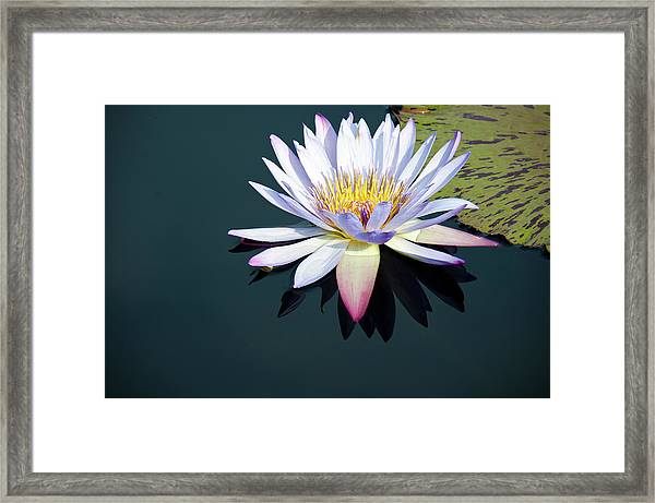 The Water Lily Framed Print