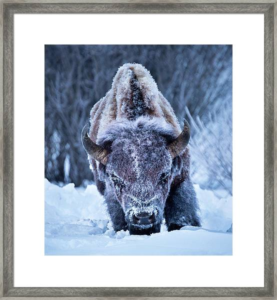 The Weary King // Yellowstone National Park  Framed Print