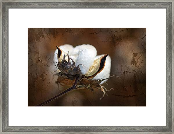 Them Cotton Bolls Framed Print