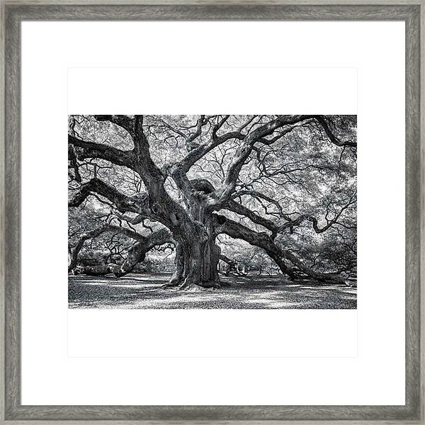 This Tree Is Located In Charleston Framed Print