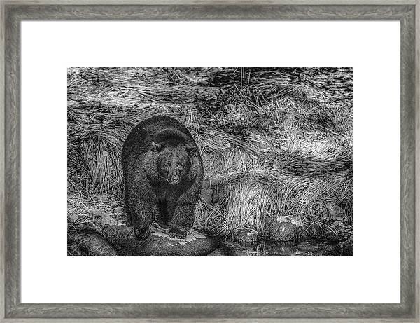 Thornton Creek Black Bear Framed Print
