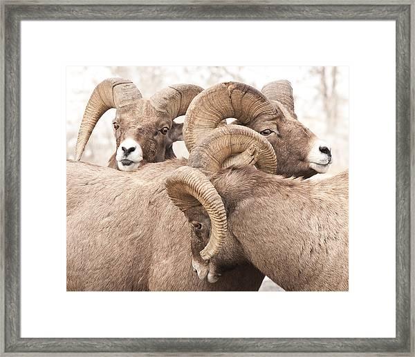 Three Bighorn Rams Framed Print