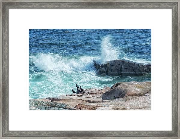 Three Cormorants At Monument Cove, Acadia National Park Framed Print