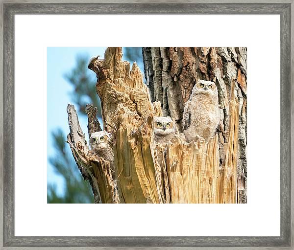 Three Great Horned Owl Babies Framed Print